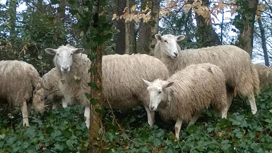 Sheep in the forest, eating ivy
