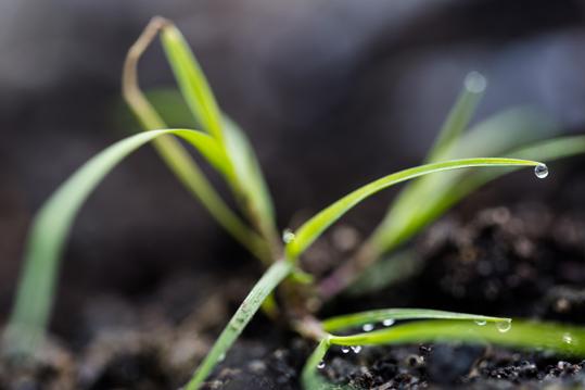 Dewdrop on a seedling